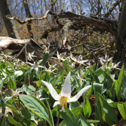 a patch of trout lilies in bloom