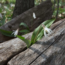 trout lilies sprouting from a log