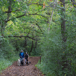 A couple walking three dogs on a wide, mulched trail through deep woods