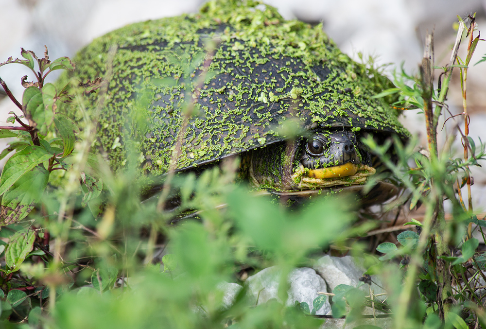 A second Blanding's turtle hiding in the grass.