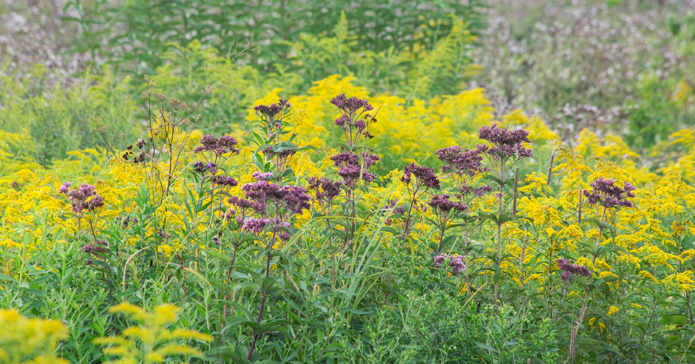 Joe Pye weed and goldenrod.