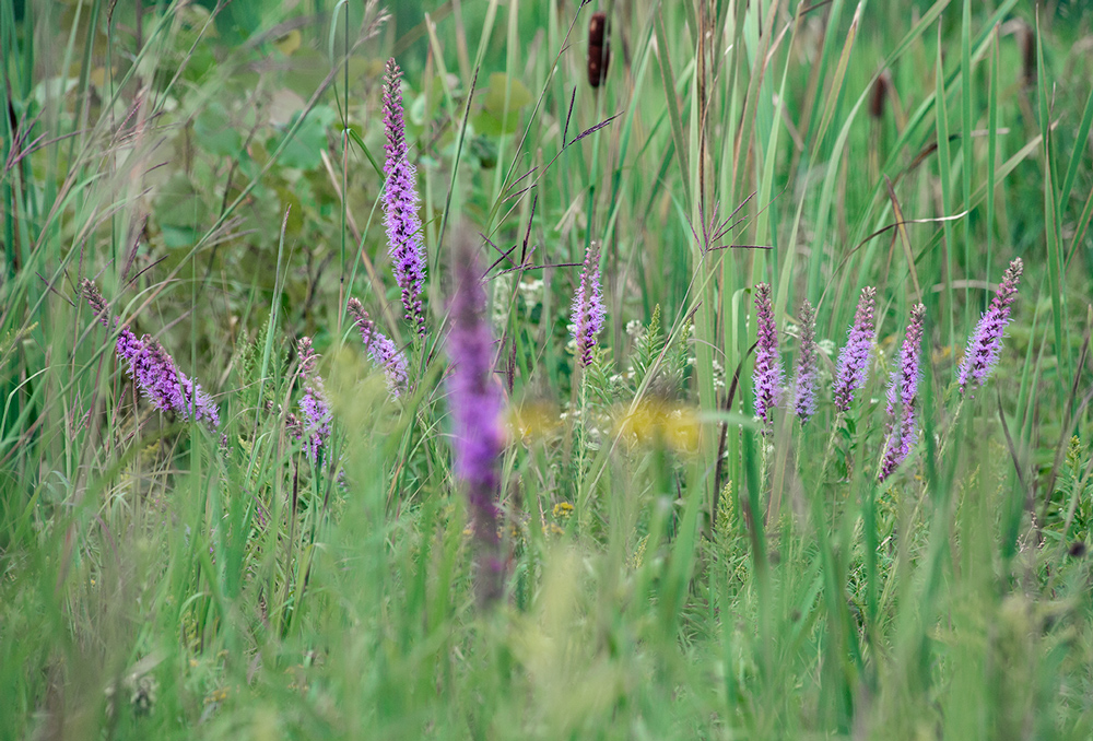 Prairie blazing star (purple flowers).