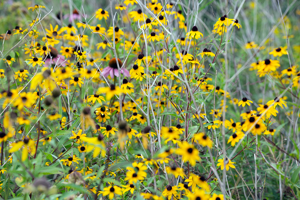 Blackeyed Susan patch.