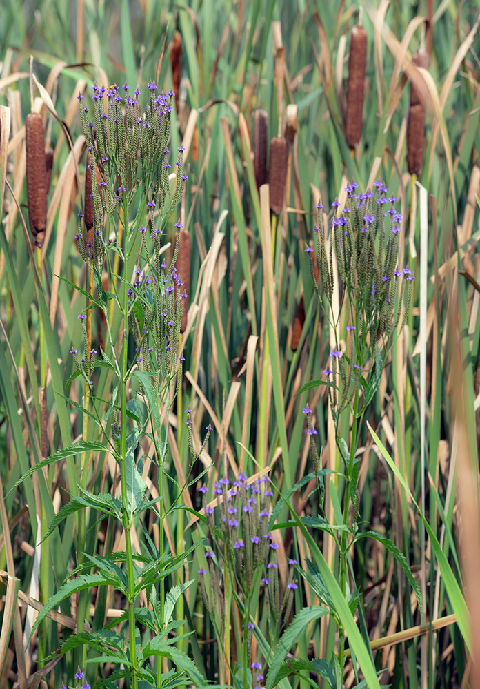 Blue vervain among cattails in wetland.