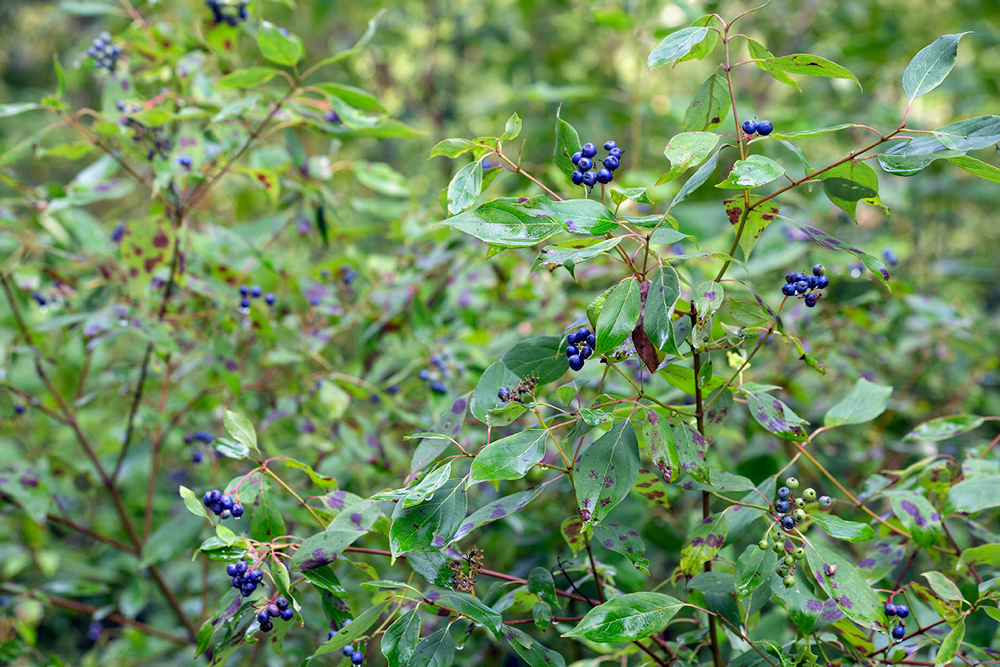 Blueberry dogwood.