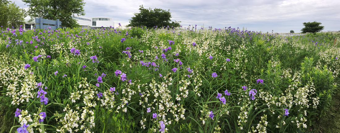 Beardtongue and spiderwort at Lakeshore State Park.