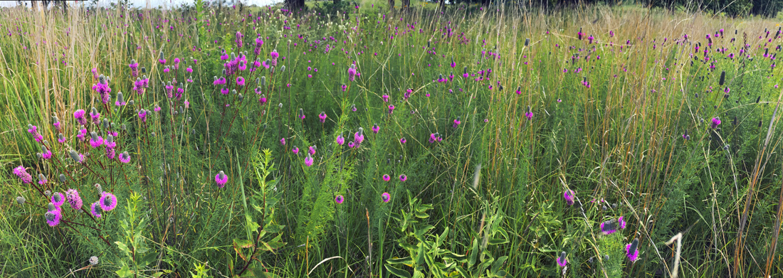 Prairie clover at Kettle Moraine State Forest - Lapham Peak Unit, Waukesha County.