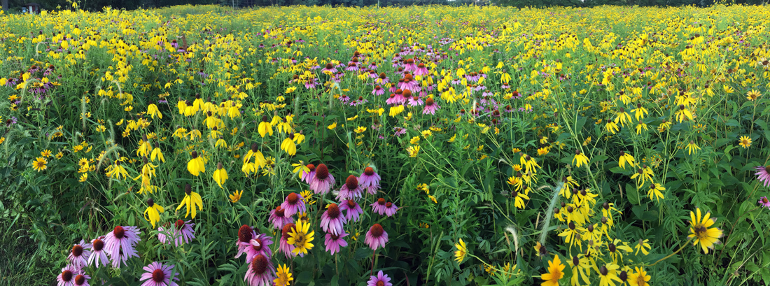 Various yellow flowers and purple coneflowers at Mukwonago Park, Waukesha County.