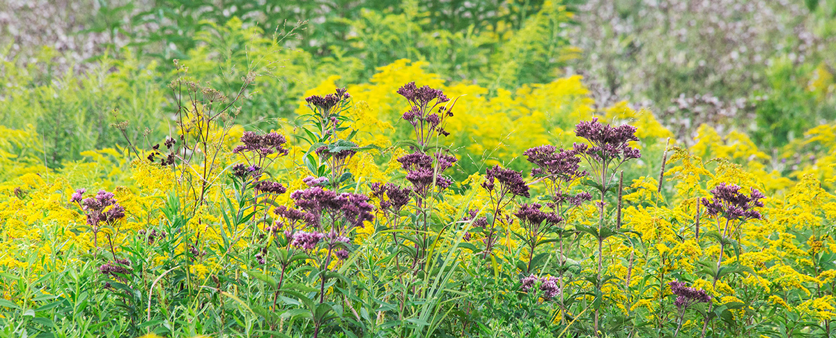 Joe Pye weed and Canada goldenrod at Forest Beach Migratory Preserve, Ozaukee County.
