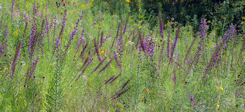 Prairie blazing star at Riveredge Nature Center, Ozaukee County.