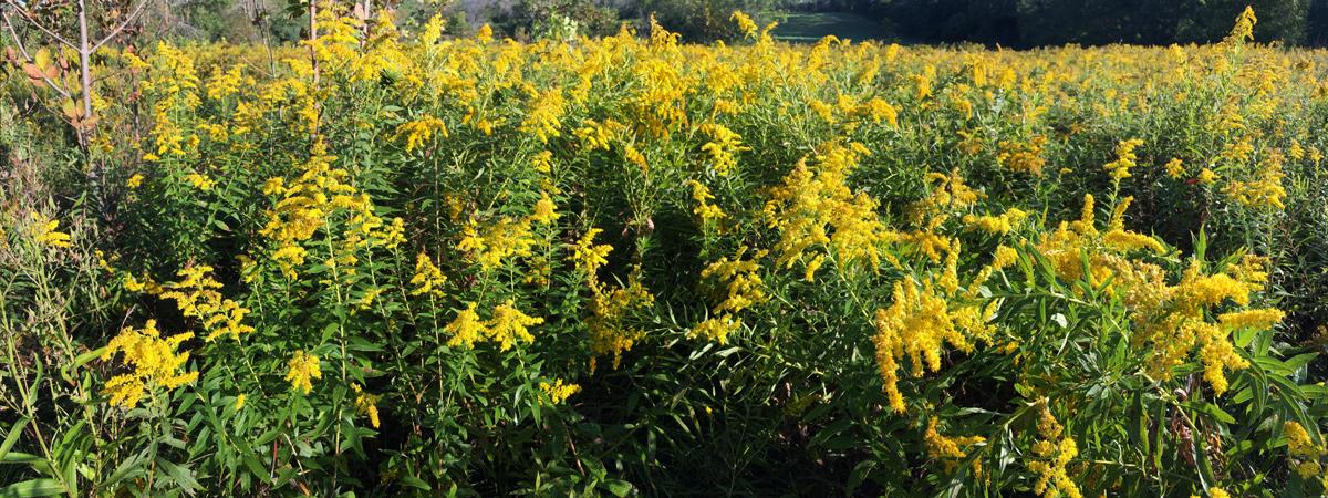 Canada goldenrod at Menomonee Park, Waukesha County.