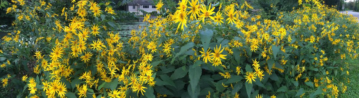 Sunflowers (I think!) at Jacobus Park, Wauwatosa, Milwaukee County.