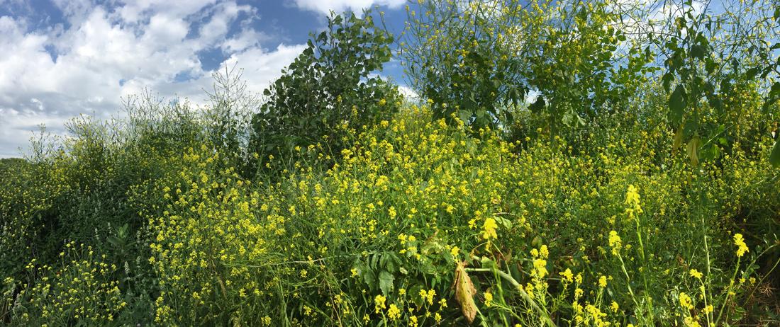 Wild mustard at Rotary Centennial Arboretum, Riverside Park, Milwaukee.
