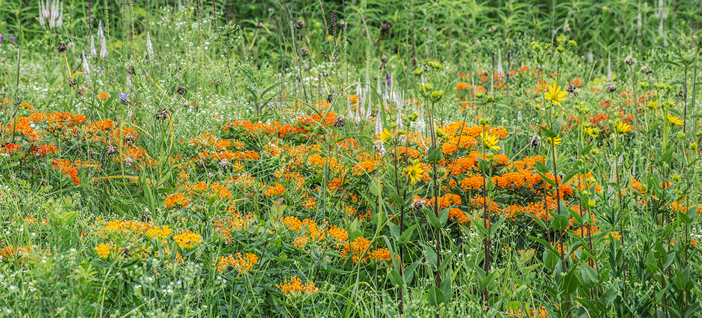 Butterfly weed (orange) at Chiwaukee Prairie State Natural Area, Kenosha County.