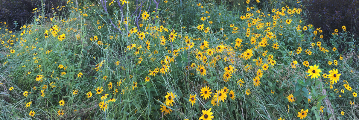 Blackeyed Susans at Hoyt Park, Wauwatosa.