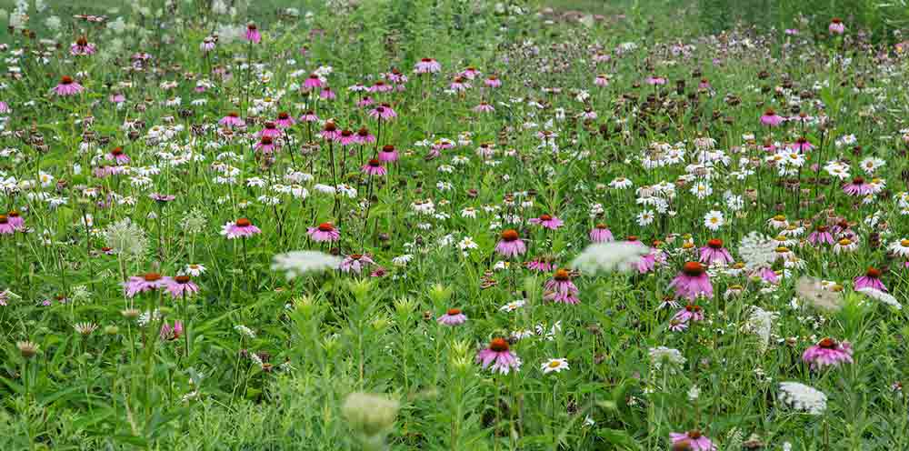 Daisies, purple coneflowers and Queen Anne's lace at Petrifying Springs Park, Kenosha County.