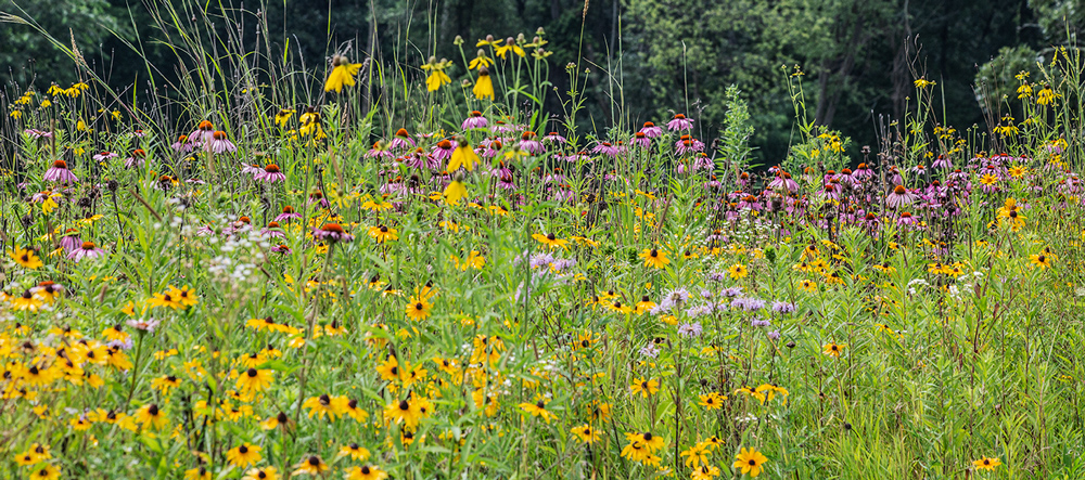 Purple coneflowers, bergamot and black-eyed Susans at Pringle Nature Center, Kenosha County.