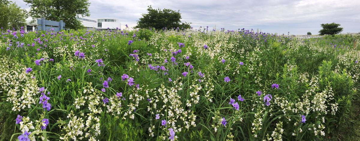 Spiderwort and bellflowers at the entrance to the park.