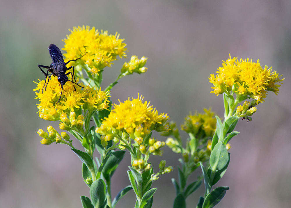 Great Black Wasp on stiff goldenrod