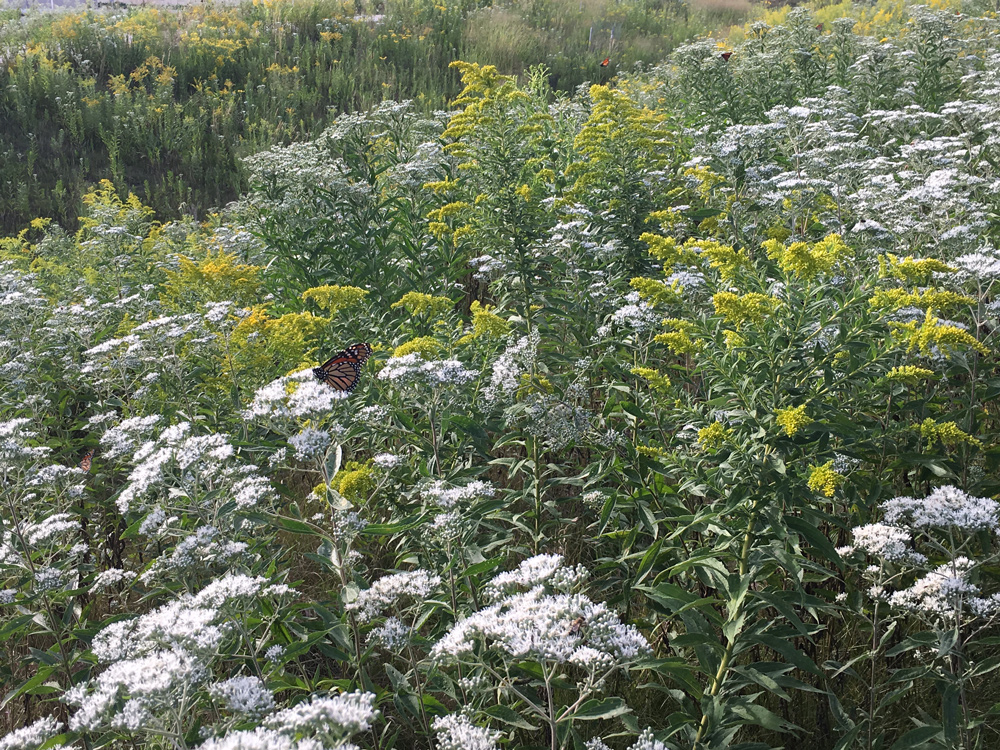 Monarchs on boneset and goldenrod
