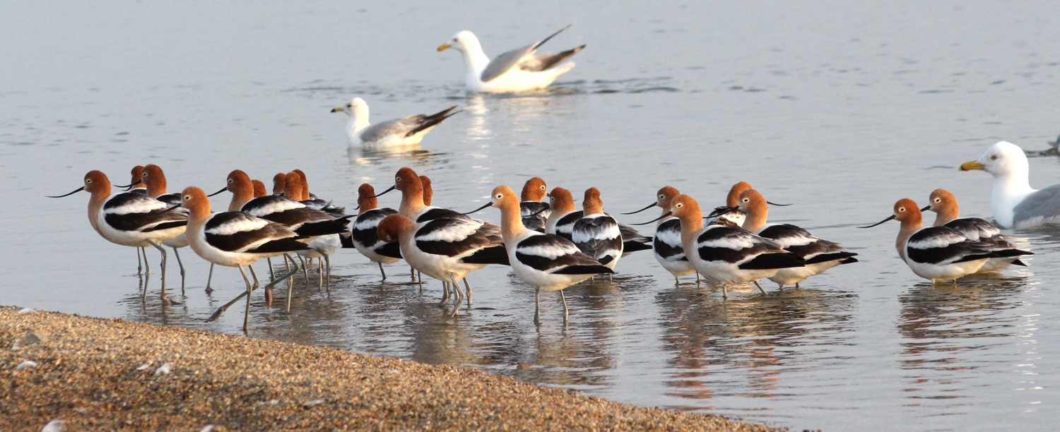 Avocets on beach
