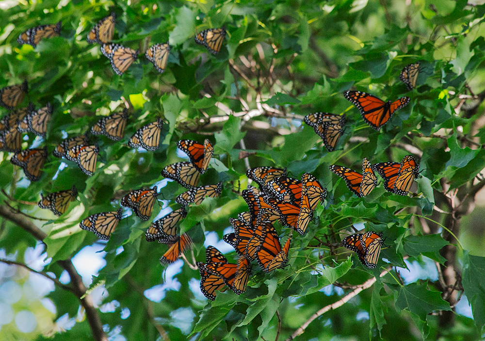 Cluster of roosting monarchs