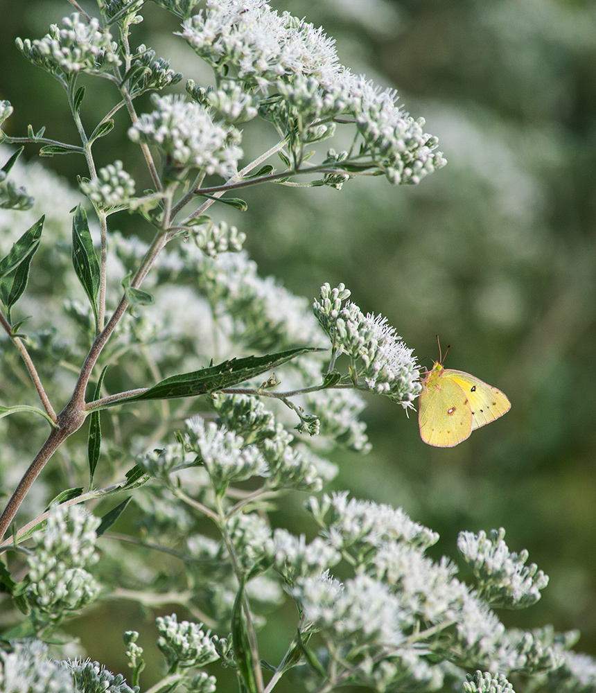 Pink-edged sulphur butterfly on flowering boneset