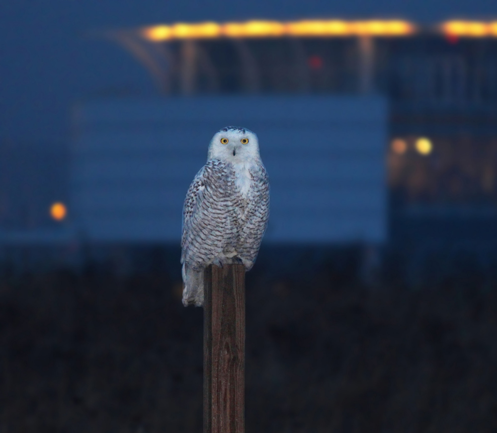 snowy owl on post