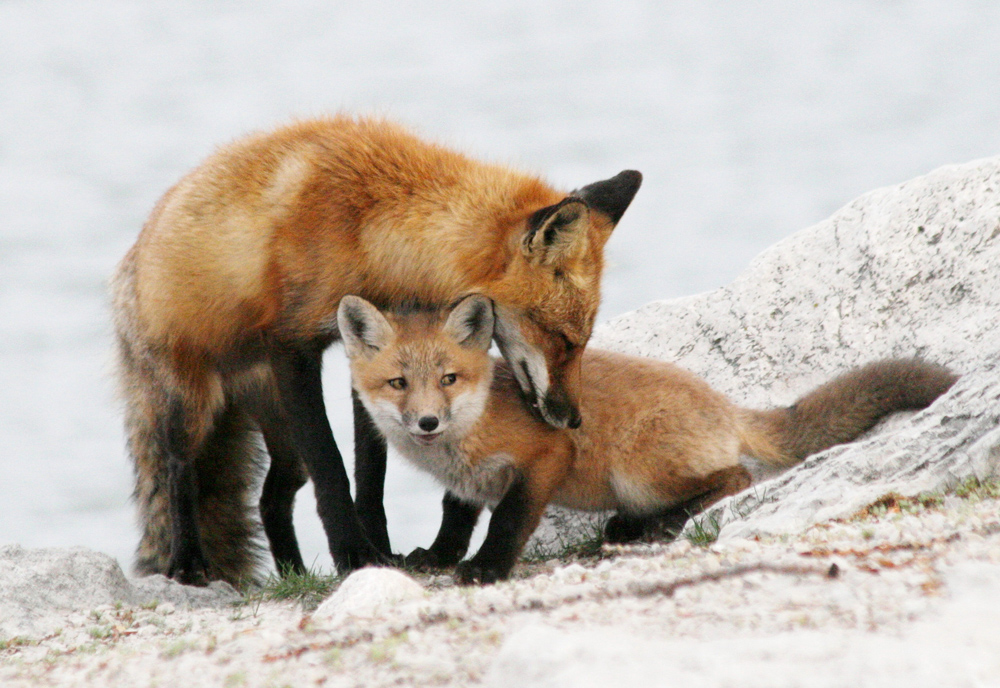 two foxes on rocks