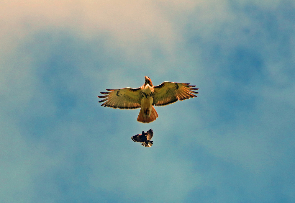 hawk and crow flying