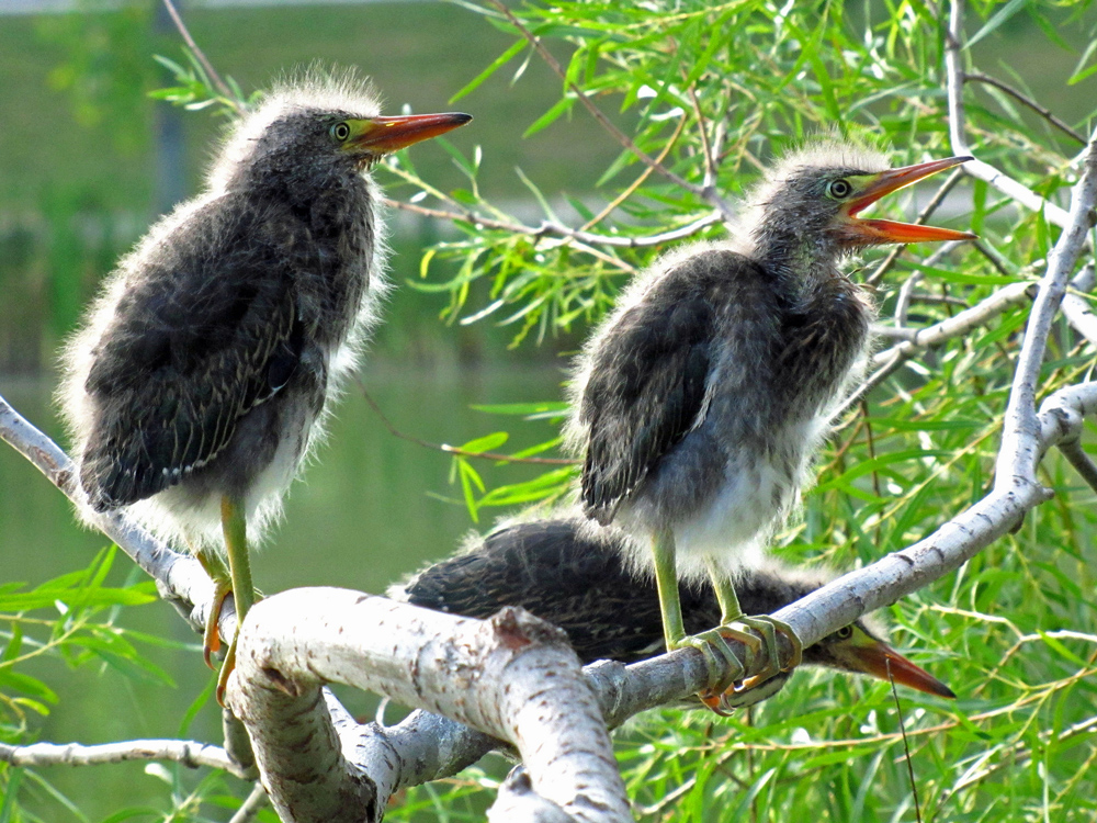 two juvenile green herons