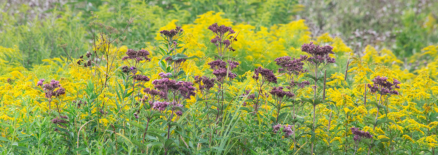 Joe Pye weed and goldenrod