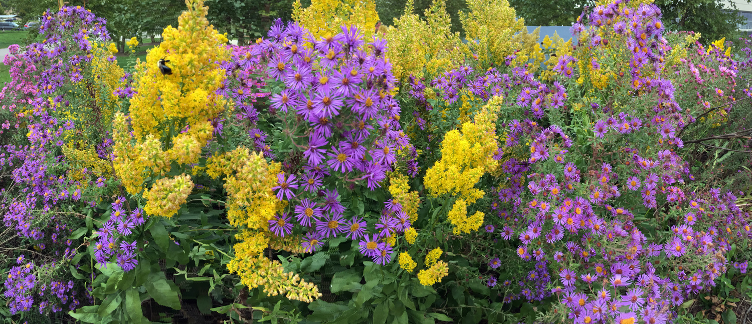 A regal display of wildflowers, purple asters and goldenrod, at Lakeshore State Park.
