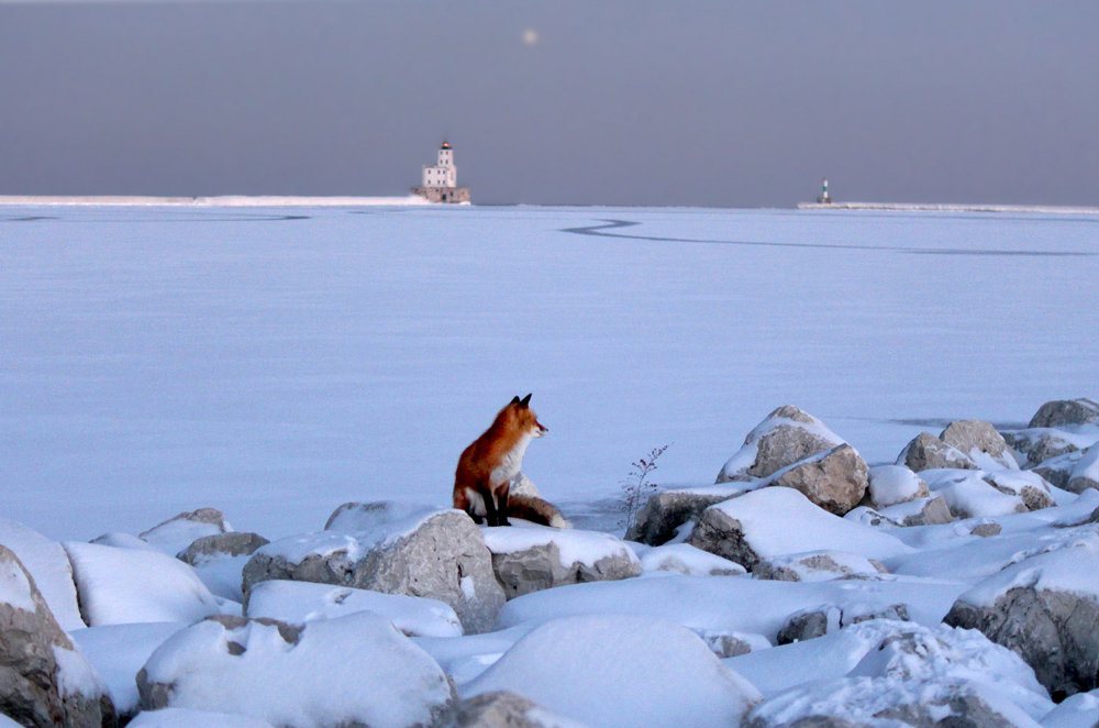 fox on rocks in winter