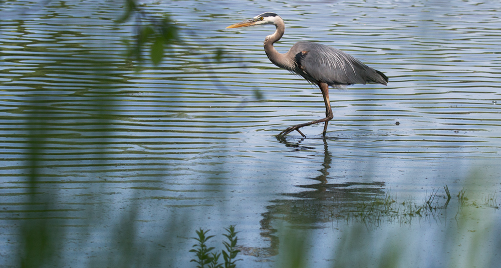 Great blue heron, Menomonee River Parkway, Wauwatosa, Milwaukee County Parks