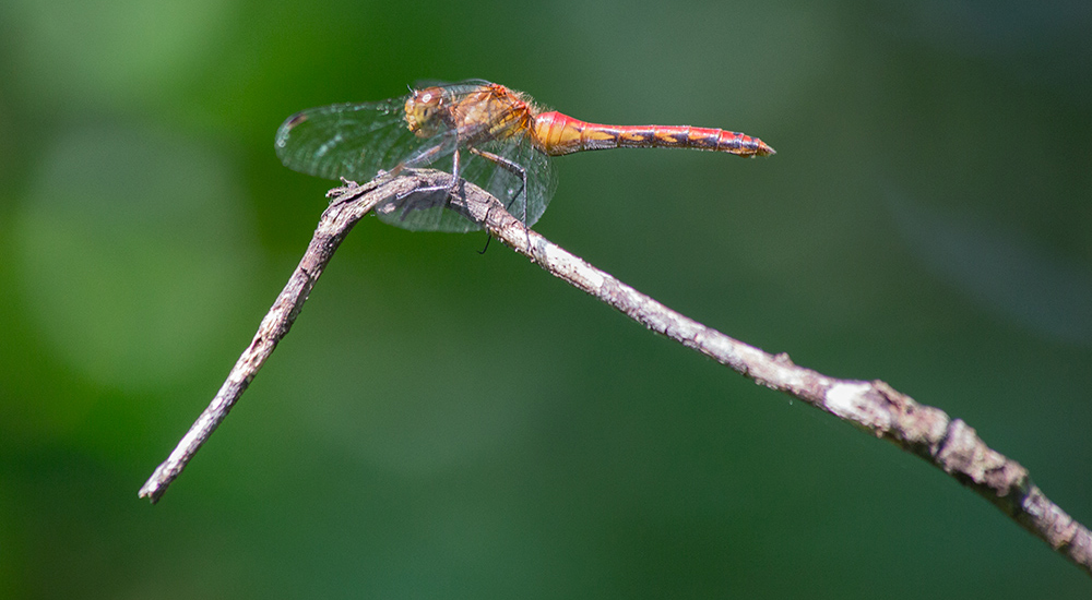 Meadowhawk dragonfly, Cedarburg Bog State Natural Area, Saukville, Wisconsn DNR