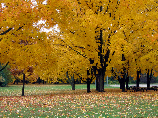 Stand of Sugar Maples, Brown Deer Park