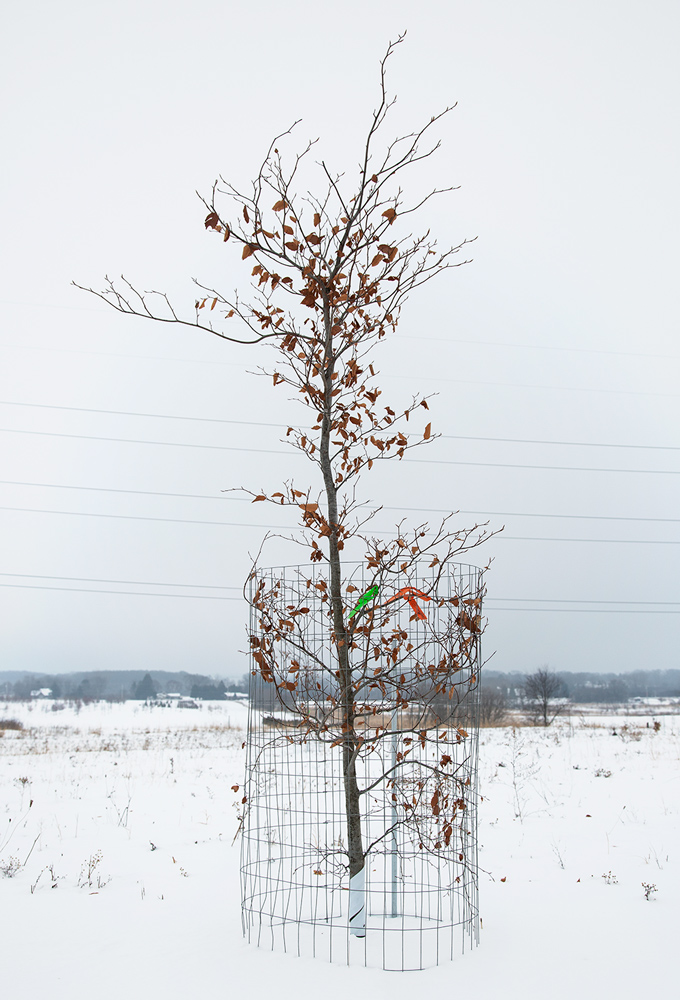 young tree protected by fencing