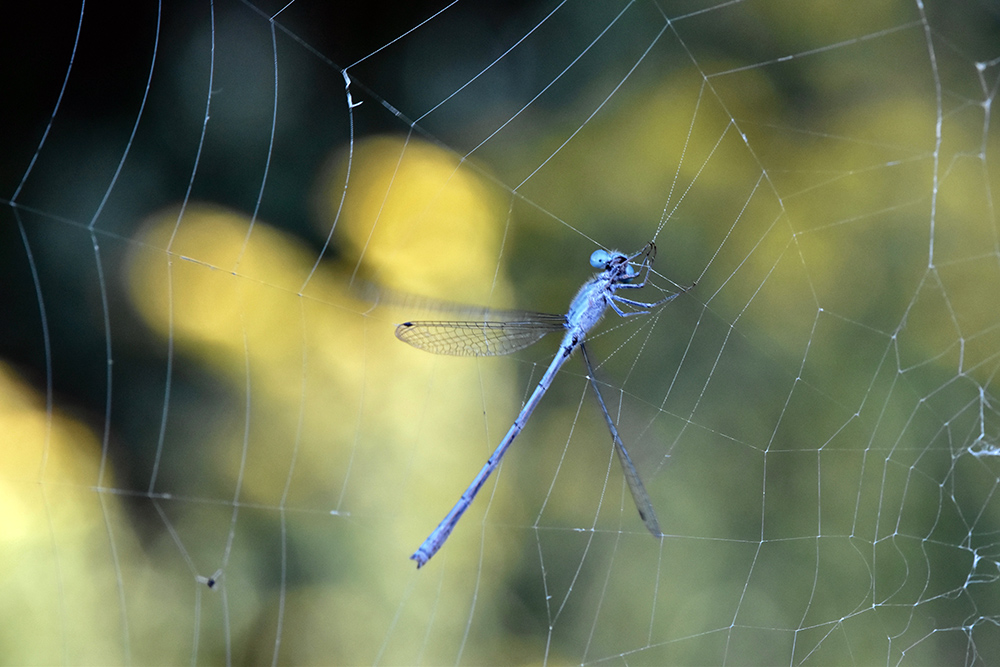 dragonfly in spiderweb