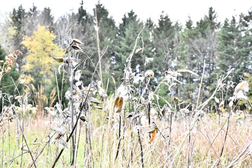 Aesclepias (milkweed)