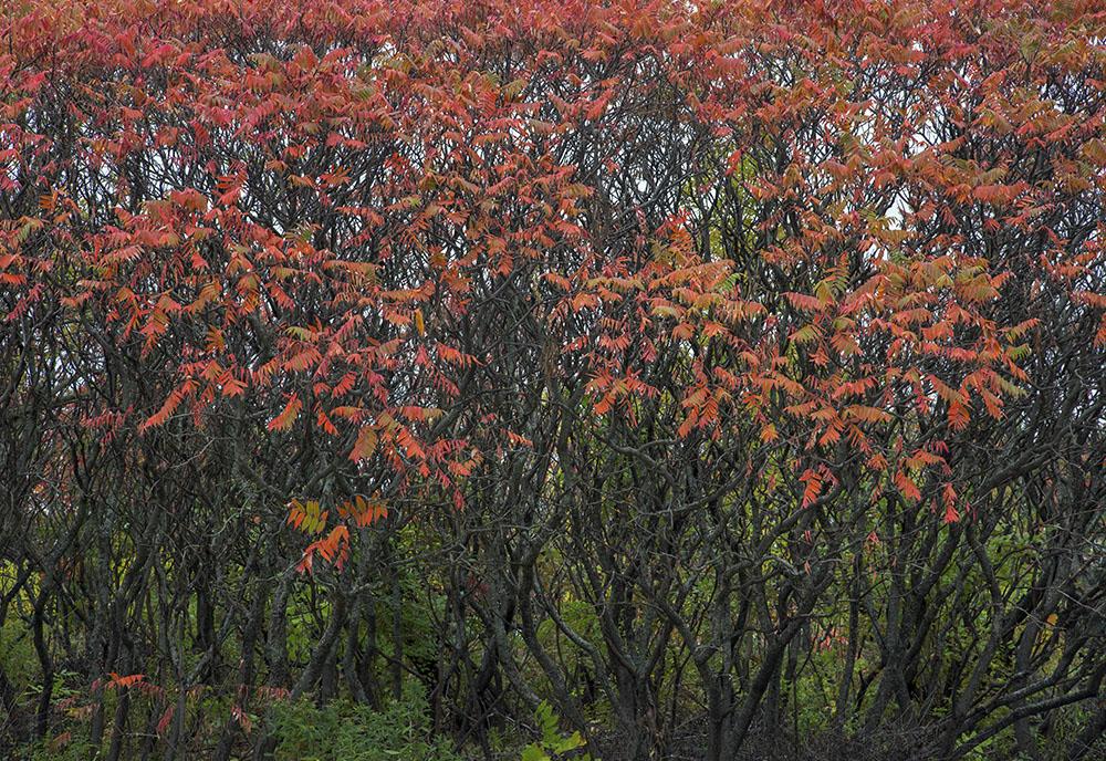 Sumacs in autumn