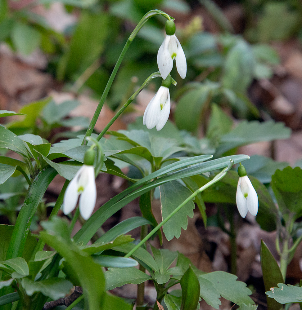 snow drop flowers in bloom