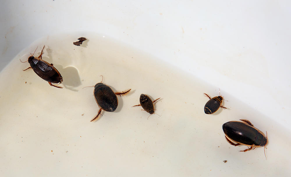 Predatory diving beetles found in pond water