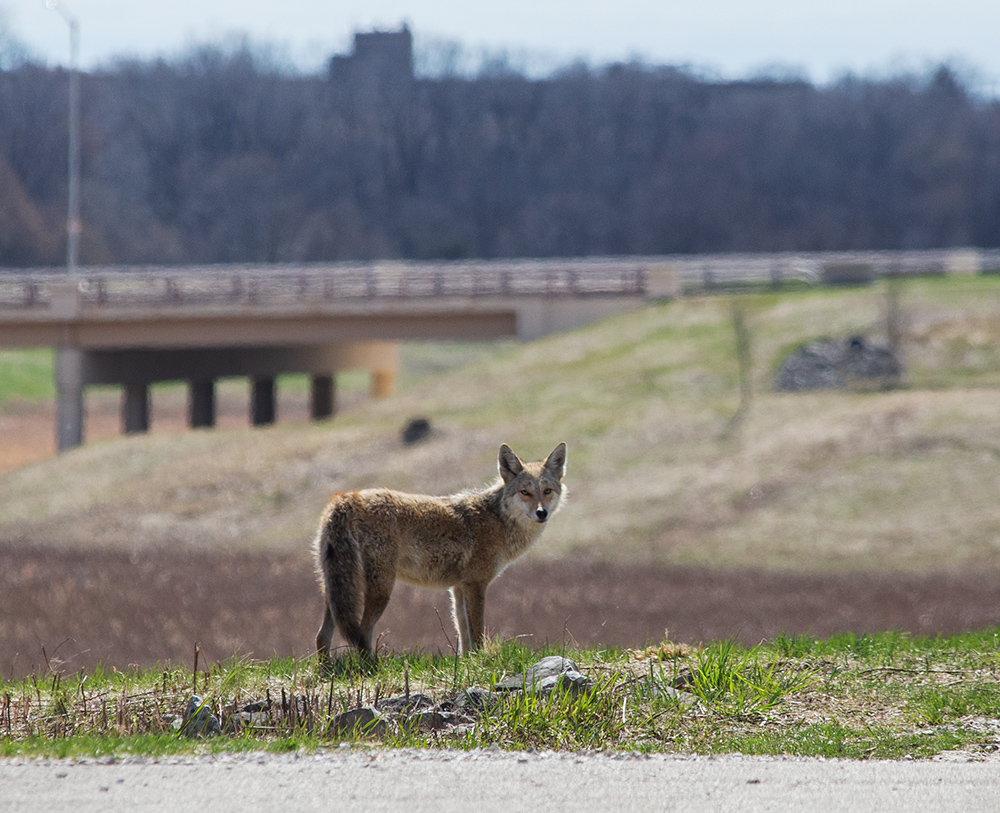 Coyote. Milwaukee County Grounds, Wauwatosa.