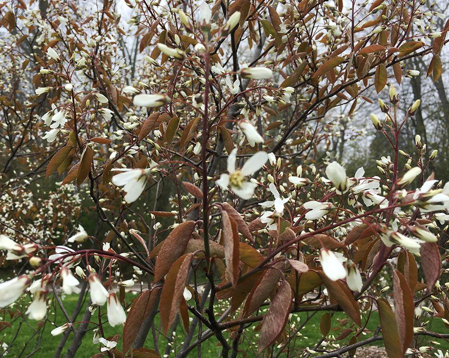 Apple Serviceberry. Lake Park, Milwaukee