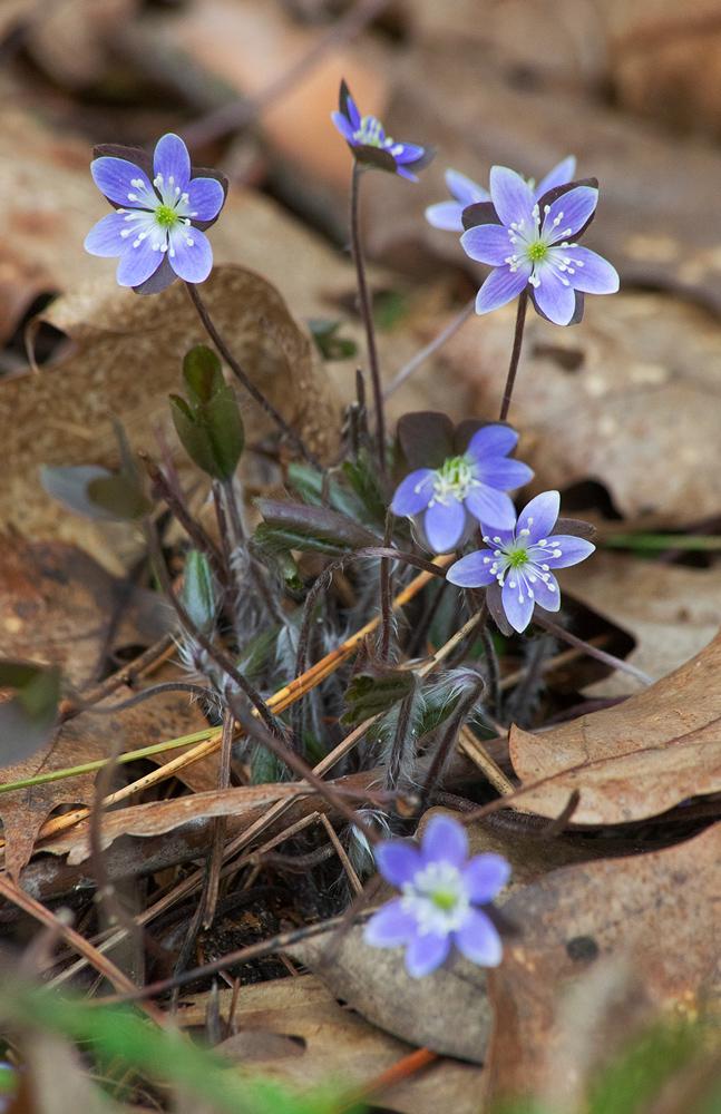 Hepatica. Kettle Moraine State Forest - Mukwonago Unit