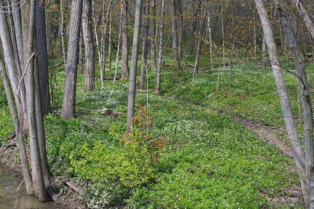 Wood anemones and other flowers. Petrifying Springs County Park, Kenosha