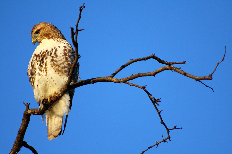 red-tailed hawk sitting on a bare branch