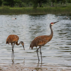 two sandhill cranes in the water at the edge of Ottawa Lake