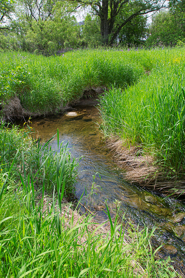 a creek lined with tall grasses